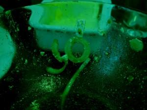 Sozwiebel grün